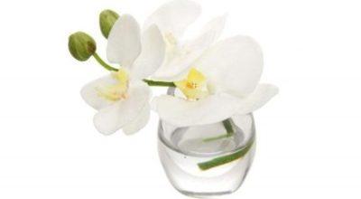 phalaenopsis-orchid