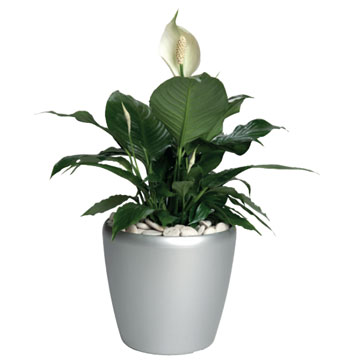 Potted plant delivery from local Bowral florist