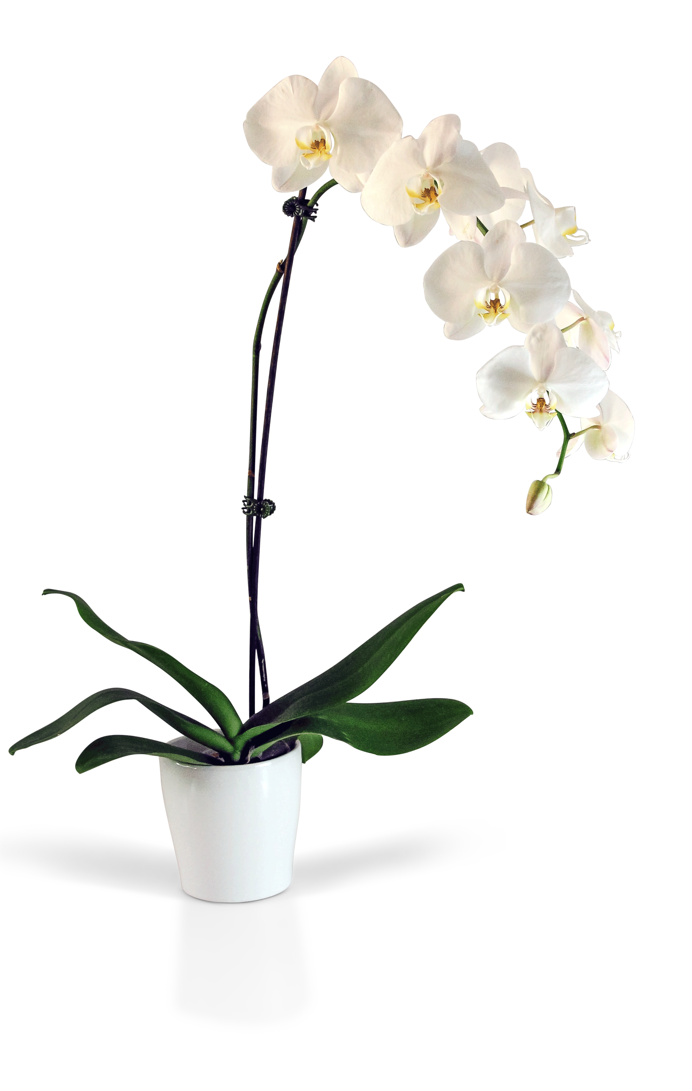 282 & Potted Phaleanopsis Orchid